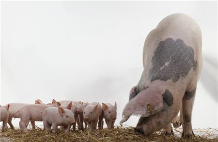 连跌三日春节行情结束, 猪价再度面临跌破13关口危机