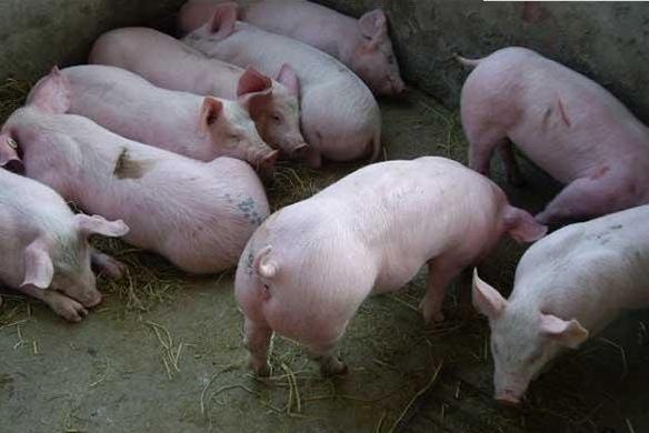 养猪户在自家承包地养猪合法吗?看看专家如何解答