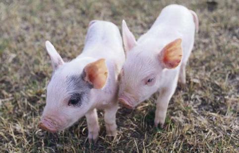 屠企、小刀的收猪策略变化多端 猪价难逃下行命运?!