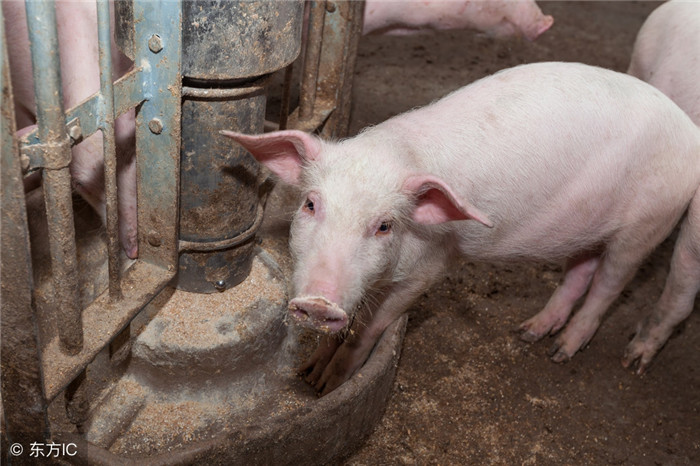 朋友们,你们家的猪看见人害怕吗?