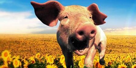收入难以控制,但科学计算——教您降低养猪成本?
