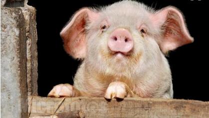 跌幅已达2.00元/公斤,是屠宰企业还是猪经济之过?