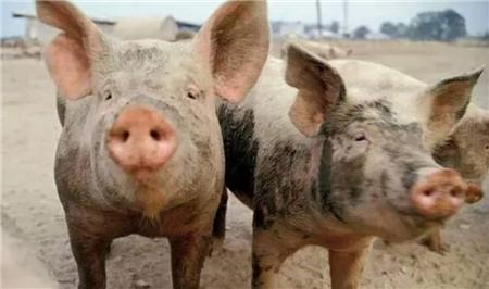 养猪户看过来,40元一斤的猪肉何以被预订一空?