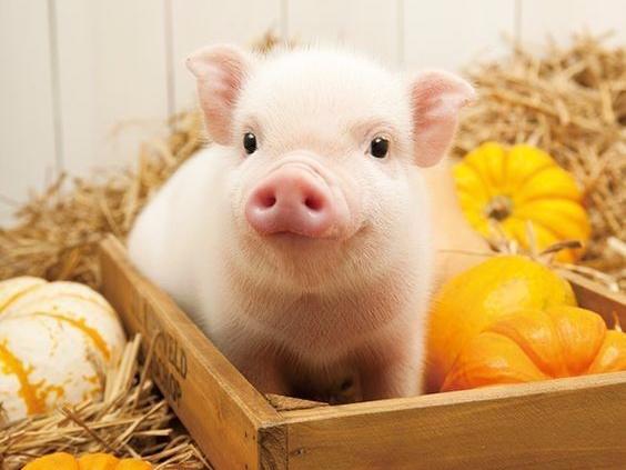 2018年2月23日(20至30公斤)仔猪价格行情走势