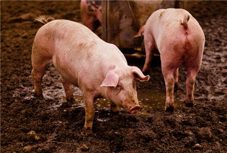 养猪户放心,6.5元/公斤将是2018年猪价最后底线