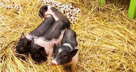 5年后谁还继续养猪,还能养猪也的就只有这2种群体!