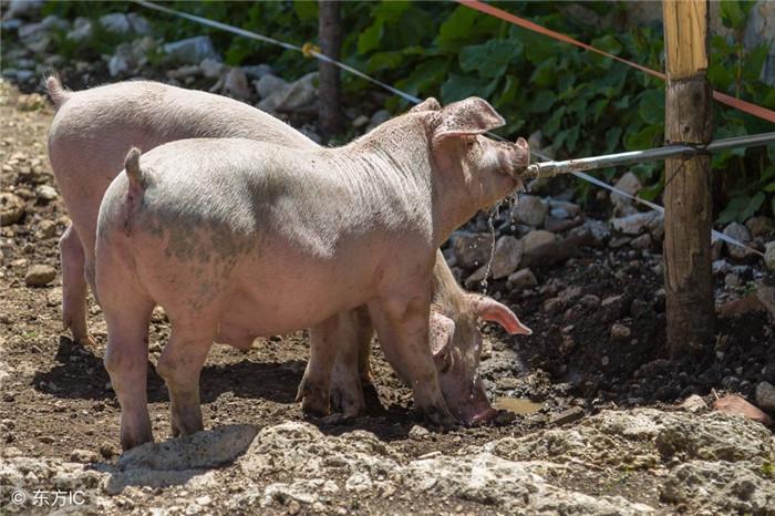 农村养猪散户退出,电商大佬马云进入养猪市场,以后猪价会便宜吗