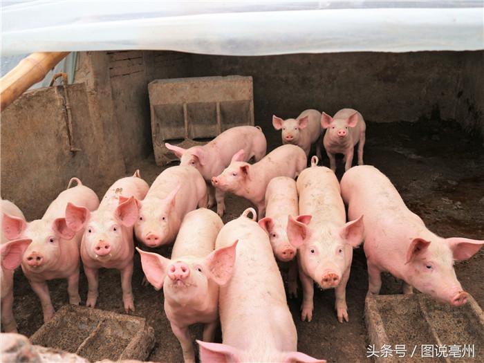 """农村养猪大户真""""土豪"""",用一头猪崽当作新年红包!"""