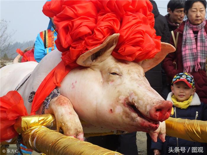 村民开心养猪 每斤猪肉卖到150元