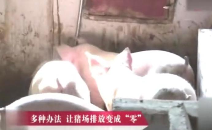 这样养猪,猪长得快,排污少更环保