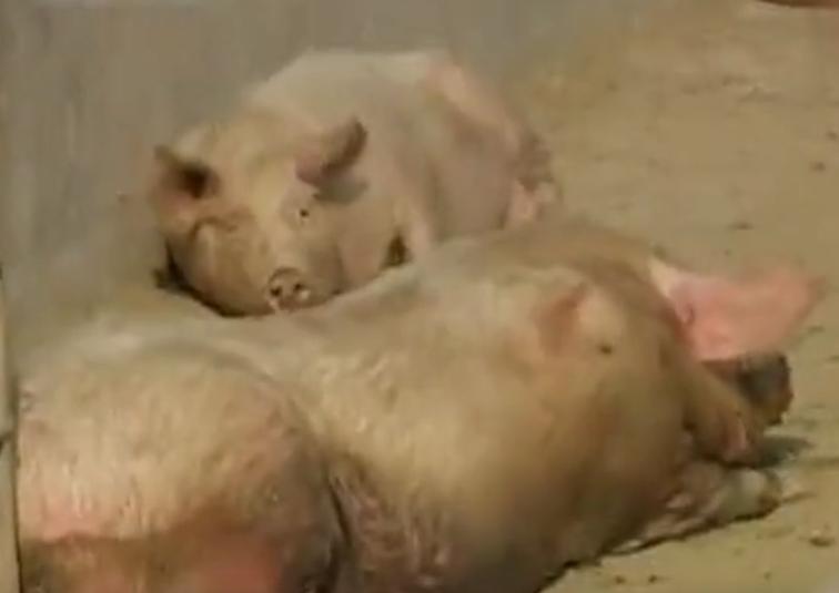 为了让猪长得快,这家猪场居然安装了猪床