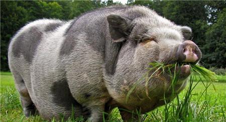 猪价这么不景气的情况下,200多斤的肥猪要不要出手