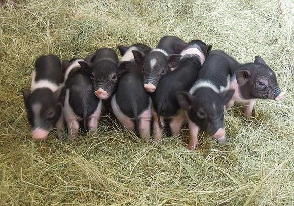 东北猪价跌出新低,猪价何时能探底?