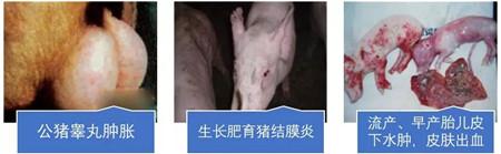 猪衣原体病有救了!