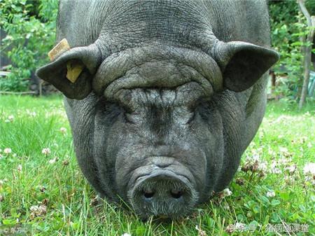 养猪的朋友,你知道母猪为啥出现眼屎、泪斑吗?