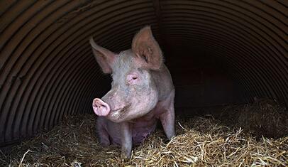 """很多养猪场对于疾病的态度是""""治大于防"""",往往是发现了疾病才采取措施进行治疗,这种做法对于一些轻微的、无传染性的疾病有一定的效果。"""