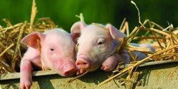 春季猪病高发,这3 种疾病要重防!