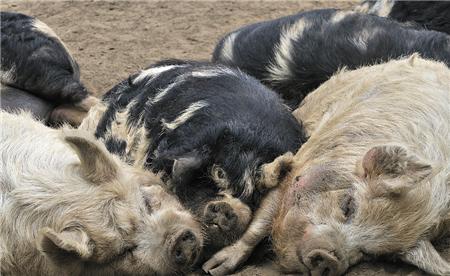 实现猪场的批次化生产--管理者需要做什么?