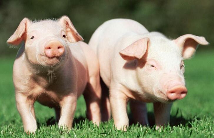 生猪价格不断下跌,养猪户对2018失去信心?