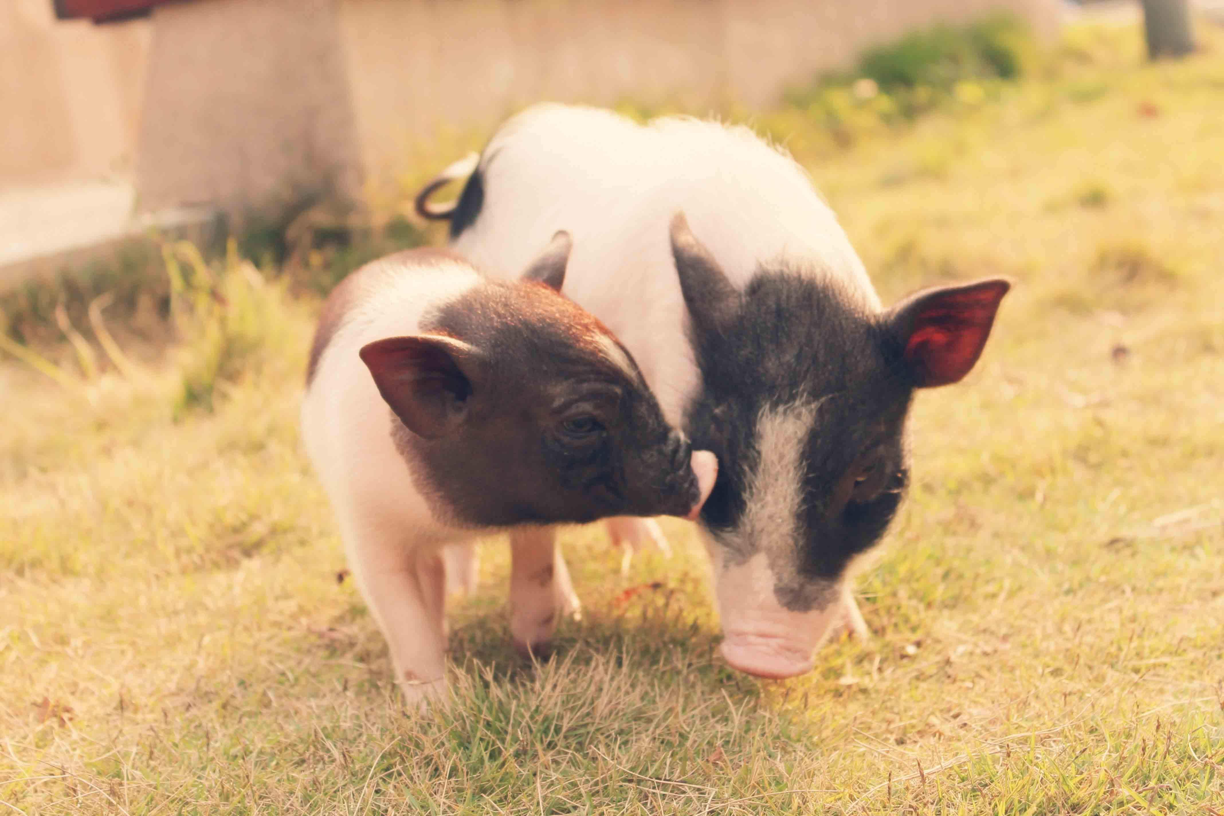 让你养猪场加速灭亡的因素你知道吗?还有几点不容忽视!