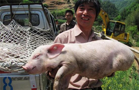 养猪苦养猪累,为啥还要养猪?