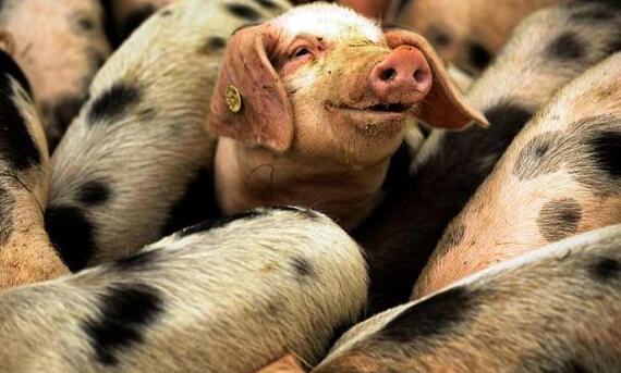 假如我是一个养猪佬,道出了养猪人的心声