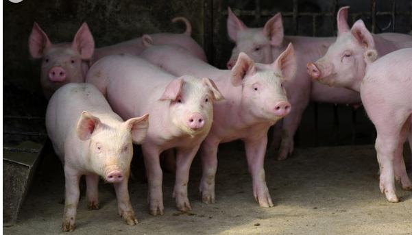 引发猪呼吸道疾病的五大原因,养猪人你都知道吗?