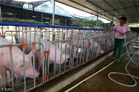 农村养猪每头能赚多少钱?农村养猪补贴政策