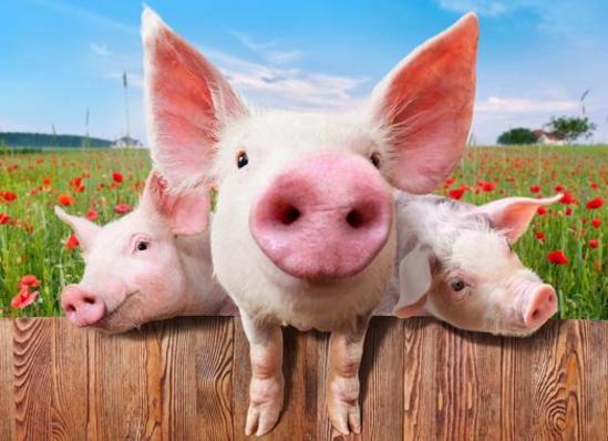 猪价3年来首次跌破成本价 后期将持续弱势运行