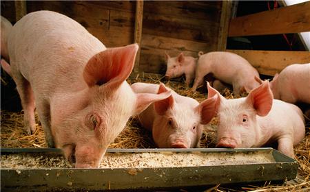 """""""饲料价格涨,猪肉价格跌""""现象会持续多久?"""