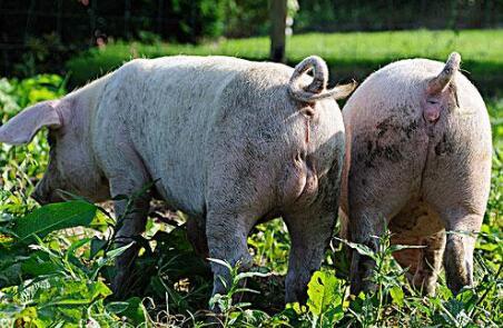 为什么公猪和母猪不能养在一起?这可能影响到公猪的生殖能力