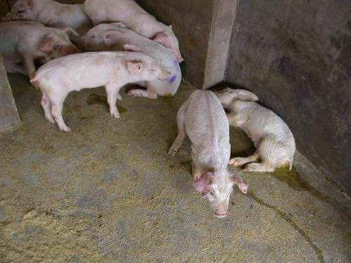 进来教你看看怎么认清猪的圆环病