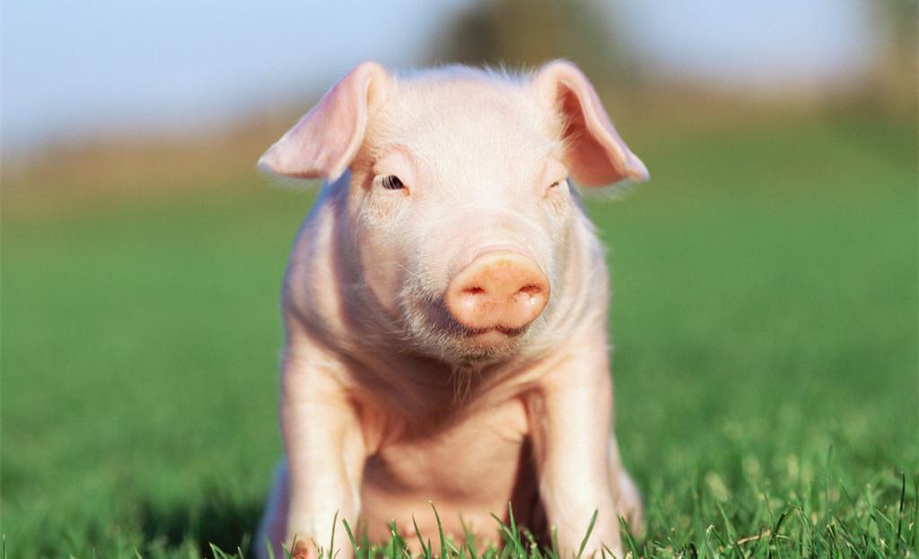 虽然市场跌的不正常 但养殖户卖猪要保持正常出的做法