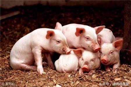 仔猪寄养的原则有哪些?