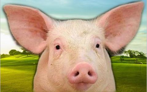 """养猪亏损!所以将鼓励规模化养猪写入""""两会""""提案?"""