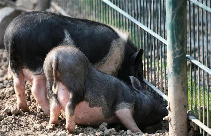 """如何破解价格怪圈,化解""""猪周期""""风险?"""