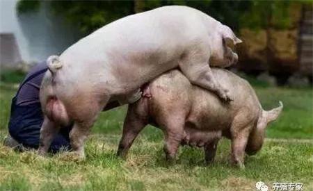 母猪配种成功的症状,母猪配不上种的原因