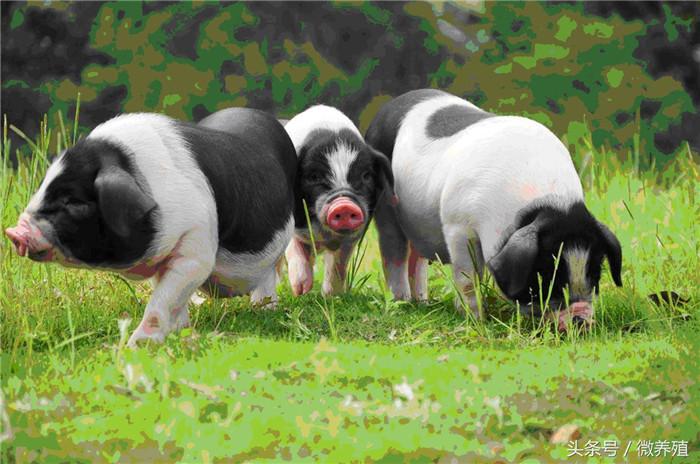 """那些年,养猪不小心踏过的""""坑"""",养猪人别说你没犯过!"""