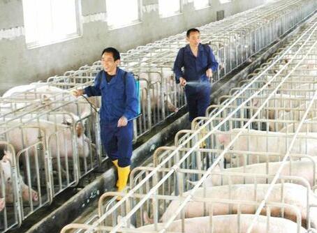养猪业环境和养猪成本吃紧,散养户还有没有生存空间?