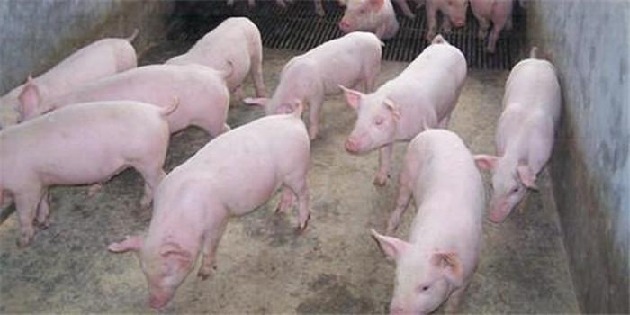 猪葡萄球菌感染,主要是由金黄色葡萄球菌和猪葡萄球菌引起猪的细菌性疾病。金黄色葡萄球菌感染可造成猪的急性、亚急性或慢性乳腺炎,坏死性葡萄球菌皮炎及乳房的脓疱病;猪葡萄球菌主要引起猪的渗出性皮炎,又称仔猪油皮病,是最常见的葡萄球菌感染。此外,感染猪还可能出现败血性多发性关节炎。