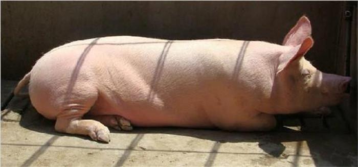 收藏了!春季快到了,养猪户应该提防什么疾病,最可怕的病是什么