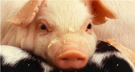 """""""1公斤猪蹄卖给中国5块钱"""",这群外国人觉得自己赚大了!"""