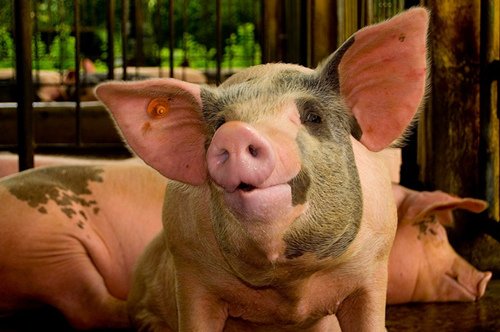 我国是养猪大国 所以猪周期带来的损害威力极大