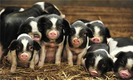 最赚钱规模养猪场建场指南!一个合理的猪场你就成功50%了!