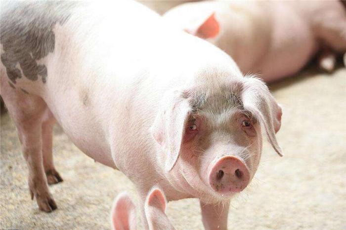 太揪心!近期猪场又高发这4种疾病,要重视!