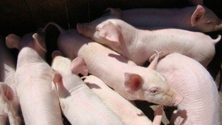猪群健康状况与成本之间的影响