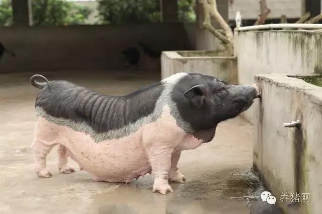 饲料涨价压缩养殖利润?分析师:4-9月猪价会上涨10%-20%