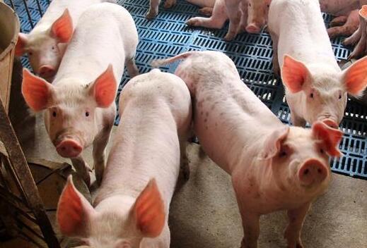 养猪小技巧,没有温度计怎样给猪量体温?