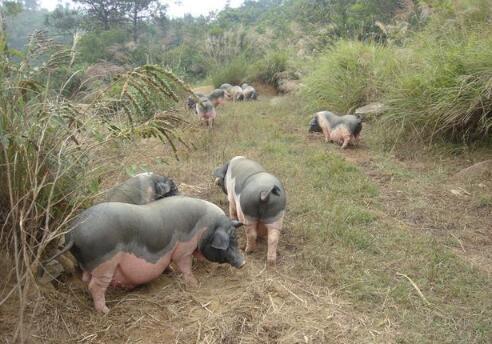 这些饲料可千万不能多喂,稍不注意就会引起猪群中毒!