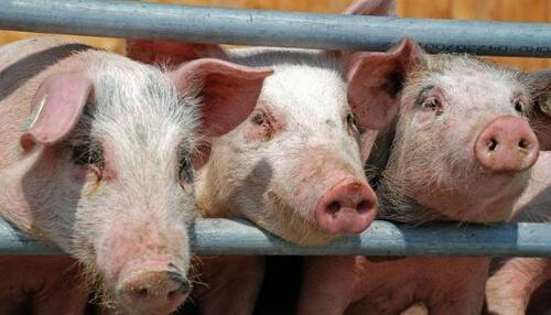 养殖户朋友们你家的猪养对了吗?还在使用限位栏?